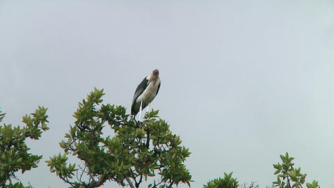 Marabou stork Stock Video Footage