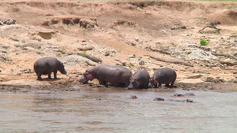 Hippopotamus Stock Video Footage