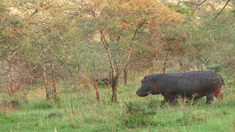 Hippopotamus Stock Video Footage