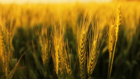 Freedom hand green organic agriculture Wheat Harvesting... Stock Video Footage