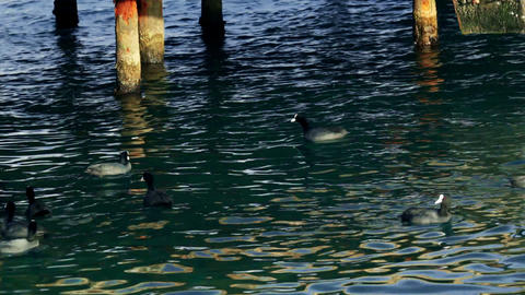 Mallards in the sea Stock Video Footage