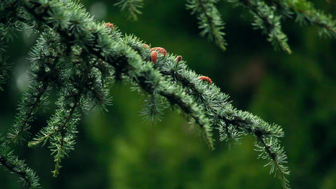 Blue spruce branches Stock Video Footage