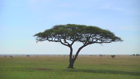 Acacia Stock Video Footage