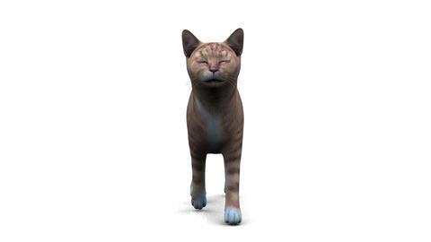 歩く猫 Stock Video Footage