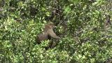 Olive baboons Footage