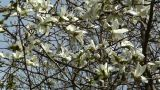 Liriodendron Tulip Tree 01 spring Footage