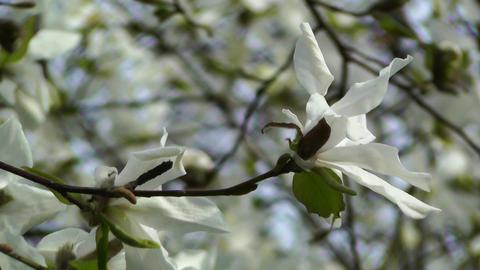 Liriodendron Tulip Tree 03 spring Footage