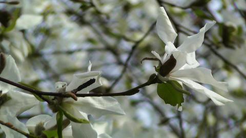 Liriodendron Tulip Tree 03 spring Stock Video Footage