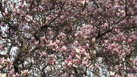 Liriodendron Tulip Tree 05 spring Stock Video Footage