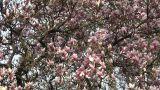 Liriodendron Tulip Tree 05 spring Footage