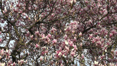 Liriodendron Tulip Tree 05 spring Stock Video Footage