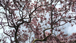 Liriodendron Tulip Tree 07 spring Stock Video Footage