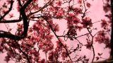Liriodendron Tulip Tree 11 spring stylized Footage