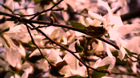 Liriodendron Tulip Tree 15 spring stylized Stock Video Footage