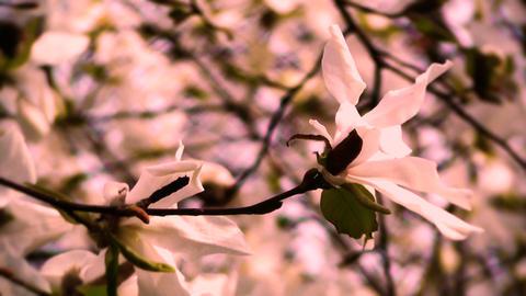 Liriodendron Tulip Tree 16 spring stylized Image