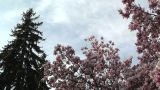 Liriodendron Tulip Tree And Pine 01 Spring stock footage