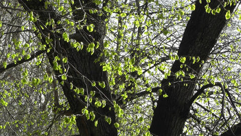 Springtime Sycamore Trees 02 Stock Video Footage