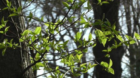 Springtime Sycamore Trees 04 Footage