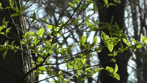 Springtime Sycamore Trees 04 Stock Video Footage