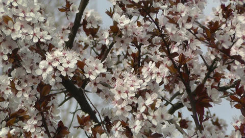 Springtime Tree in Blossoms 01 Stock Video Footage