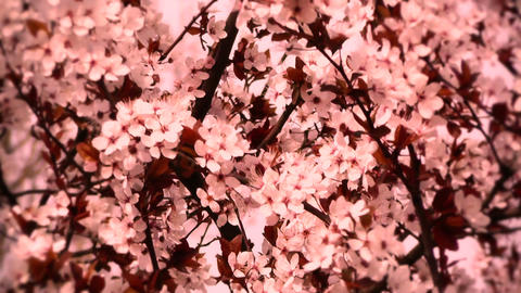 Springtime Tree in Blossoms 05 spring stylized Stock Video Footage