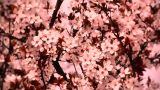 Springtime Tree in Blossoms 05 spring stylized Footage