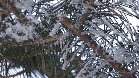 Fir tree which wore snow in Asahikawa,Hokkaido,Japan Stock Video Footage