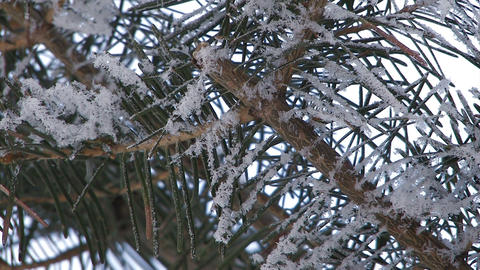 Fir tree which wore snow in Asahikawa,Hokkaido,Japan Stock Video Footage