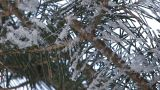 Fir tree which wore snow in Asahikawa,Hokkaido,Japan Footage