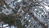 Fir tree which wore snow in Asahikawa,Hokkaido,Japan Footage