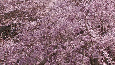 Weeping Cherry Tree in Yamanobe road,Nara,Japan_1 Stock Video Footage