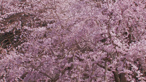 Weeping Cherry Tree in Yamanobe road,Nara,Japan_1 Stock Video Footage