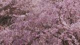 Weeping Cherry Tree in Yamanobe road,Nara,Japan_1 Footage