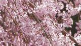 Weeping cherry tree in Yamanobe road,Nara,Japan_3 Footage