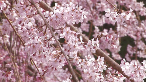 Weeping cherry tree in Yamanobe road,Nara,Japan_3 Stock Video Footage