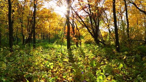 autumn forest with sun shining - dolly shot Footage