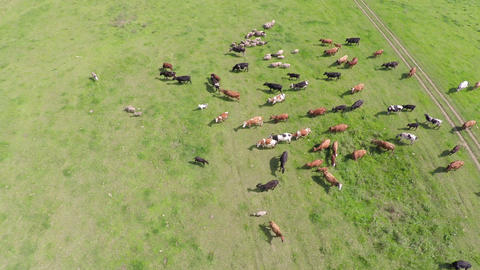 flight over grazing cows on pasture near lake Footage