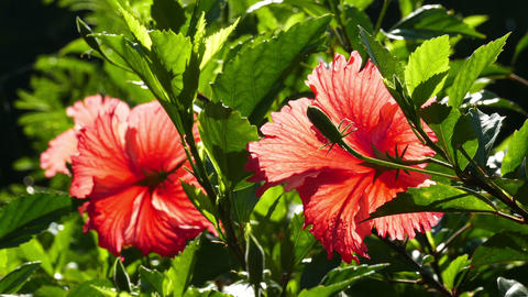 red hibiscus flowers closeup Footage