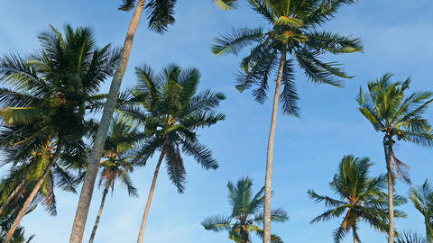 coconut palms under blue sky Footage