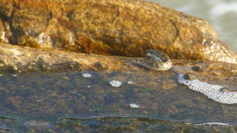 Mudskipper, Amphibious fish, Sea Mudskipper feed Footage