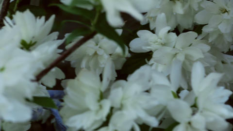 Blooming jasmine Footage