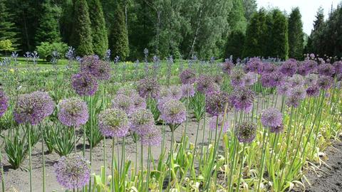 round decorative great garlic (Allium gigantean) flower buds Live Action
