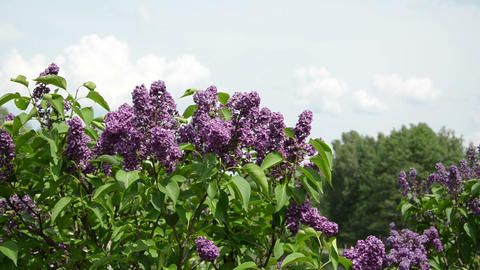 Girl smell lilac tree blooms and smile with satisfaction Footage