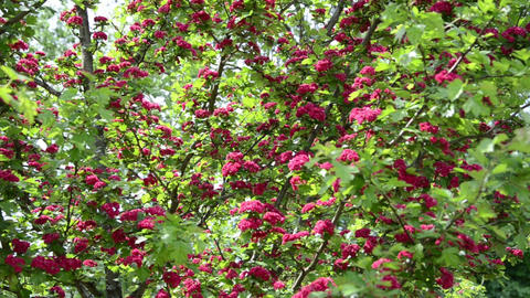 Tilt wonderful hawthorn (Crataegus laevigata) tree twigs blooms Footage