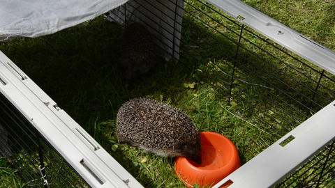 hedgehog animal lap water from orange dish in captivity cage Live Action