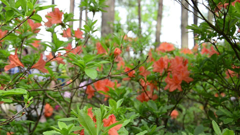 Panorama of orange rhododendron flower blooms and blurred people Footage