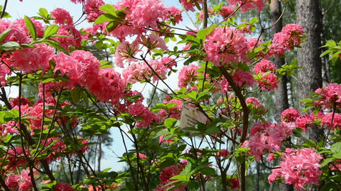 Panorama of pink rhododendron flower blooms and blurred people Footage