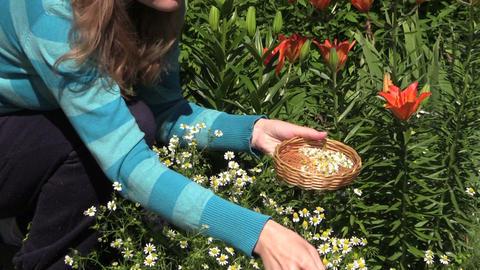 woman pick organic camomile in garden, domestic medicines Footage