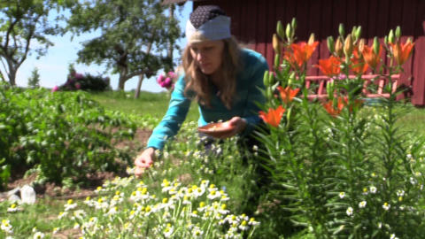 girl reap organic domestic camomile near lily bush, focus change Footage