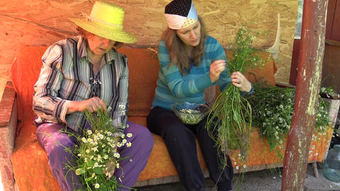 Grandmother and granddaughter women gather chamomile herb Footage